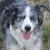 Shelby, The Reason I Have Australian Shepherds