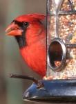 Nature_cardinal