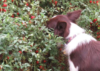Ellie enjoying a tomato buffet