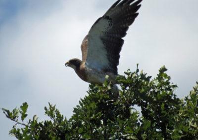 Resident Hawk